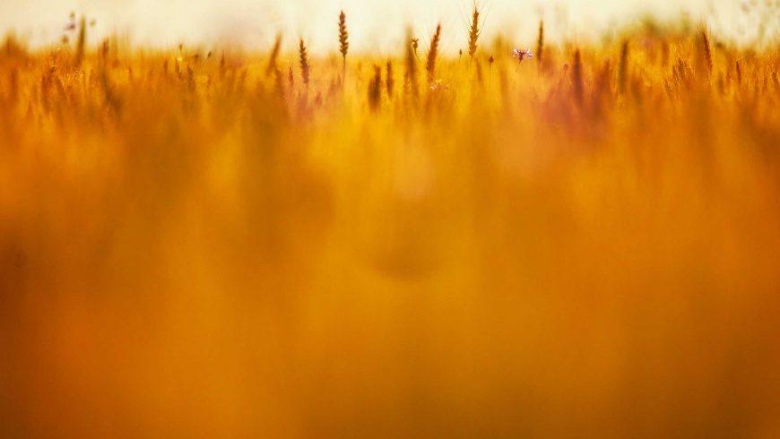 FAQS On GMOs